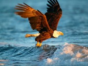 Animals Jigsaw Puzzle Eagle